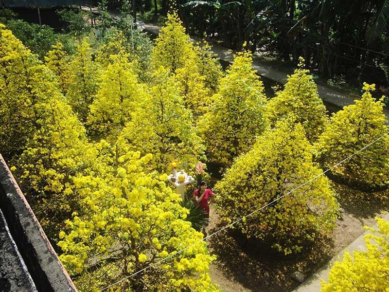 Những cây mai vàng đang khoe sắc