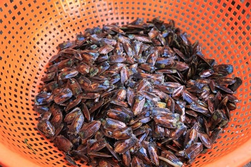Cà xỉu loài hai mảnh vỏ có thể dùng để làm mắm cá xỉu thơm ngon