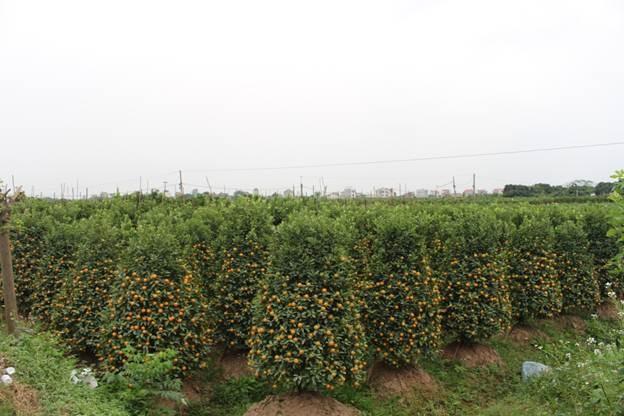 Khu vực quất Văn Giang được xem là địa điểm trồng quất lớn nhất khu vực miền Bắc.