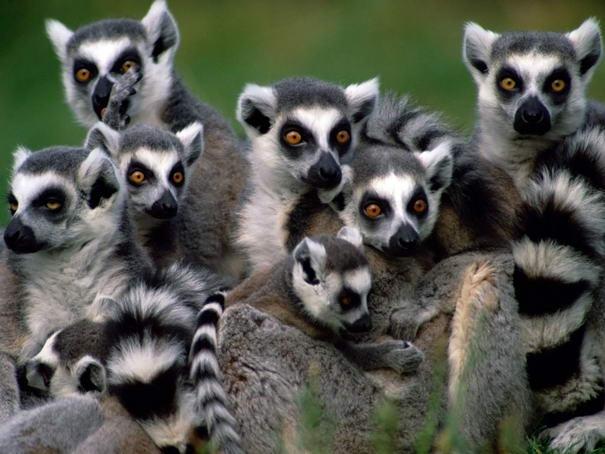 Lemur còn được gọi với một cái tên khác là vượn cáo đuôi vòng