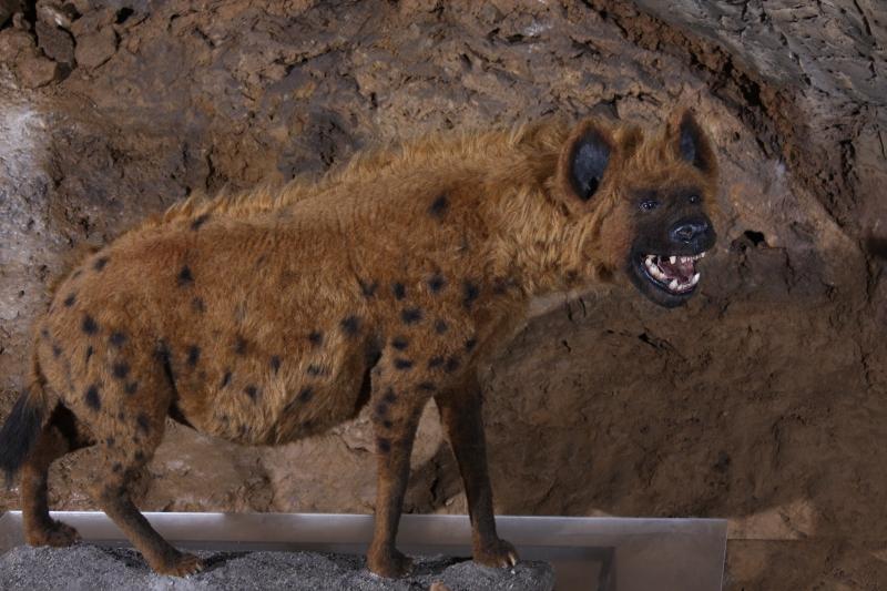 Những con linh cẩu này có thể giết chết một con voi Ma - Mút nặng đến 9 tấn.