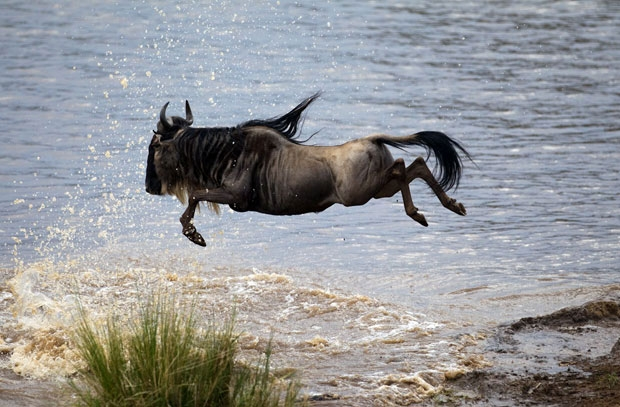 Linh dương Wildebeest
