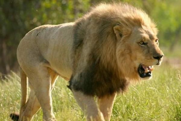 Lion là tên gọi của sư tử, là một đại miêu trong họ nhà mèo và là một chi của loài Báo