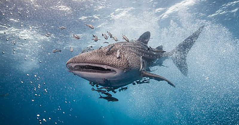 Loài cá mập nào không gây nguy hiểm cho con người?