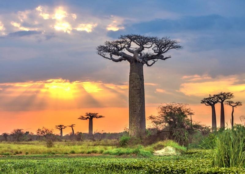 Cây Baobab hình ấm trà