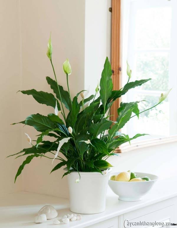 Top 12 loại cây ưa bóng râm mang lại không khí trong lành cho ngôi nhà bạn