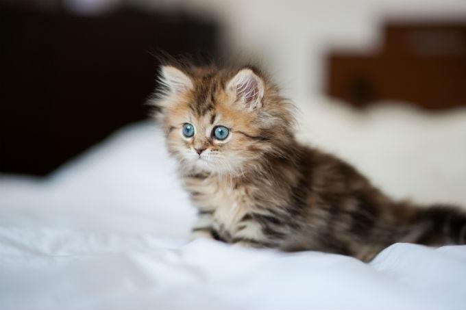 Mèo Ba Tư dễ thương, tinh nghịch