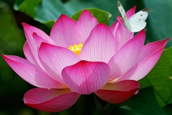 Top 10 Loài hoa đại diện cho các nước trong khối ASEAN
