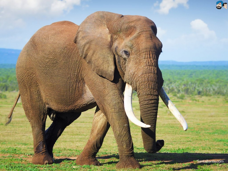 Loài vật ăn nhiều nhất - Loài voi