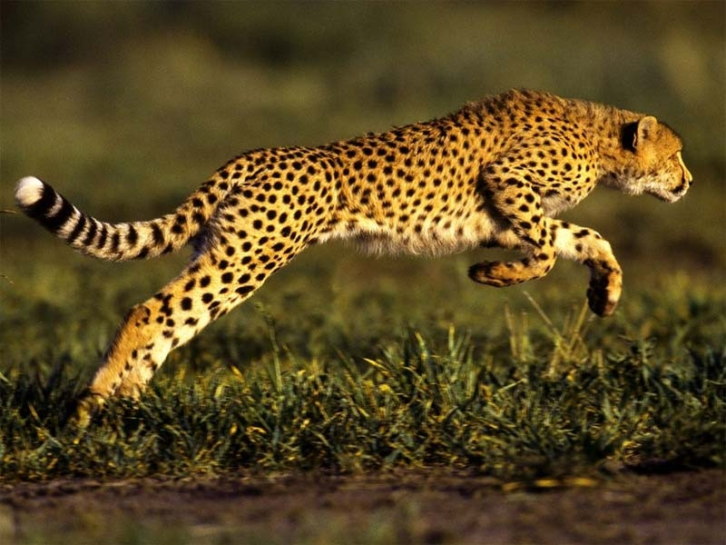 Báo- Loài vật chạy nhanh nhất thế giới
