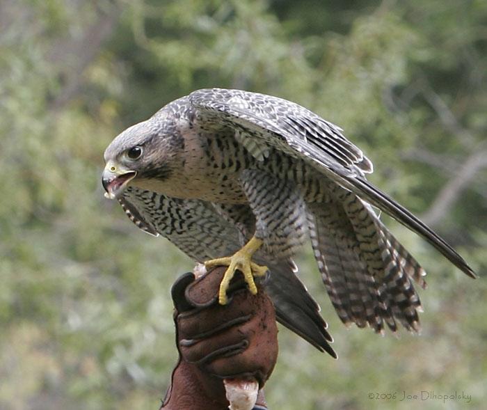 Loài vật tinh mắt nhất - Chim cắt