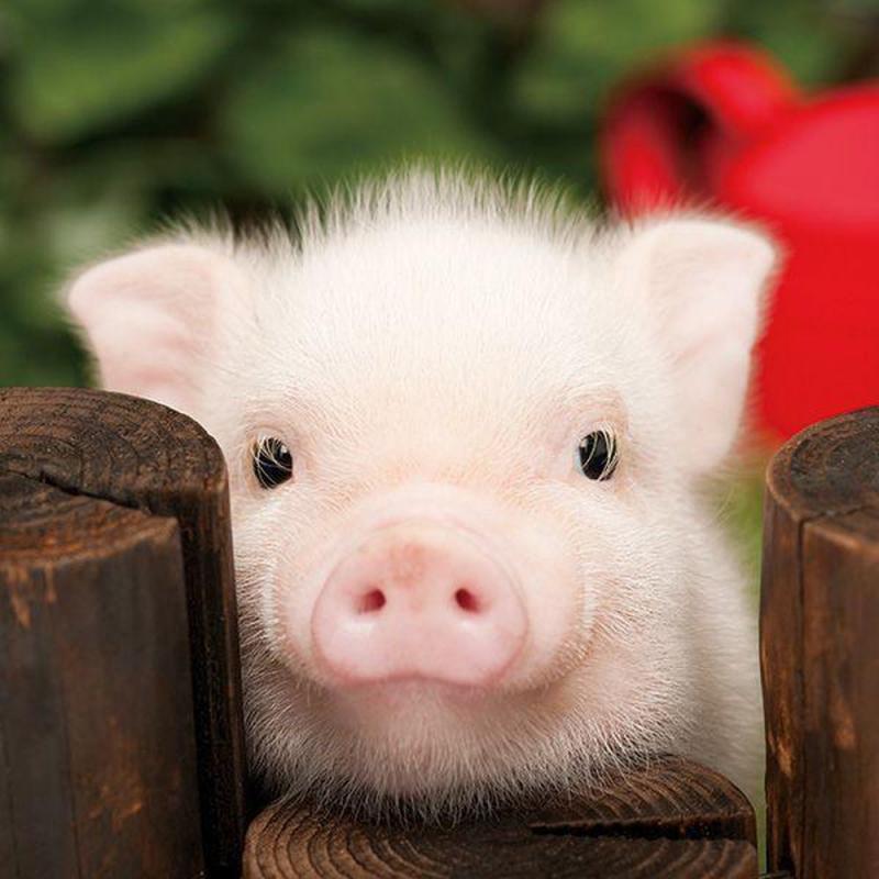 Lợn có trí nhớ dài hạn siêu