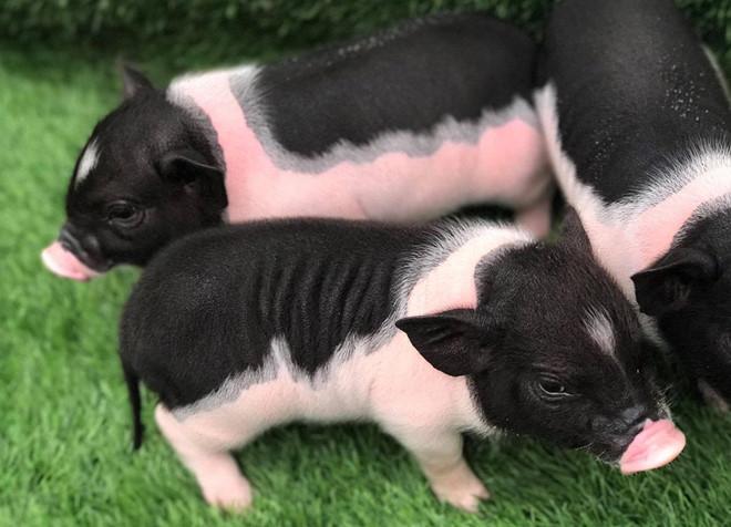 Lợn cảnh mini