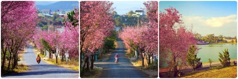 Những con đường ngập sắc hồng rực rỡ của Mai Anh Đào