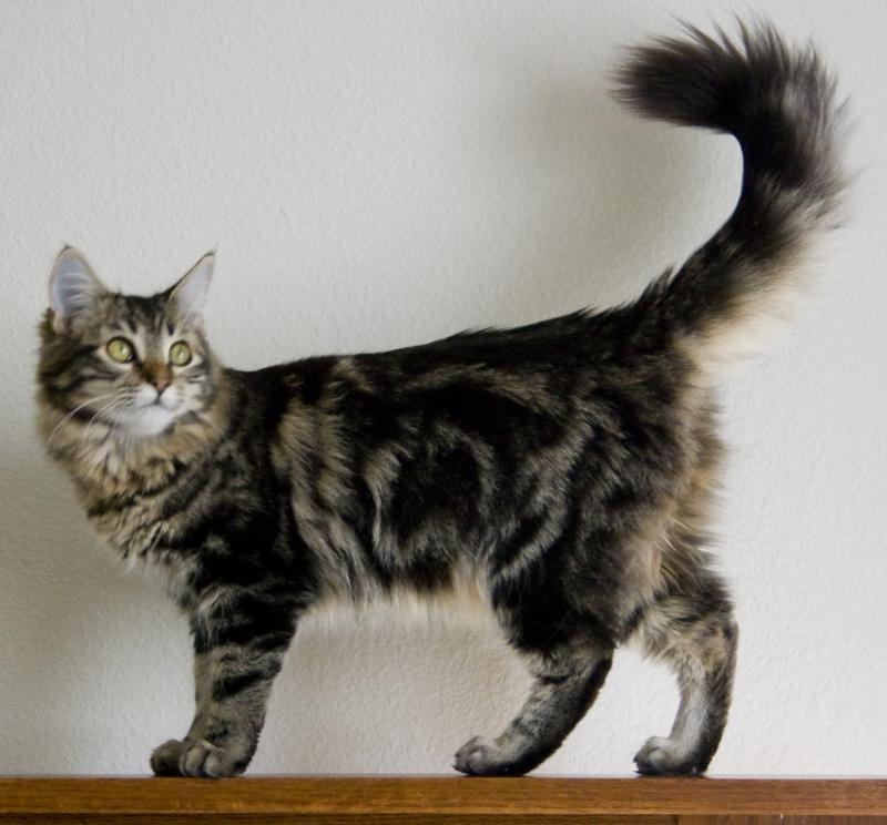 Maine Coon là giống mèo nhà có kích thước to lớn nhất hiện nay