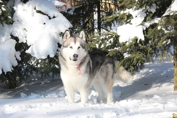 Chó Malamute khá lớn, một con đực trưởng thành có thể nặng đến 85 pound