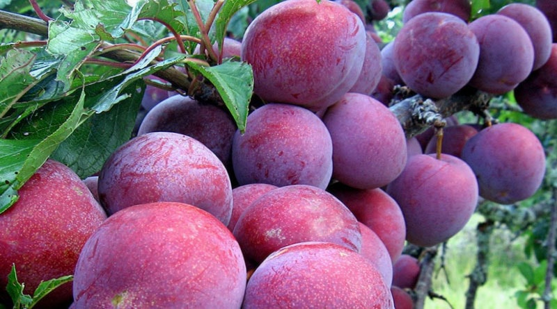 Trái cây đặc sản Việt Nam