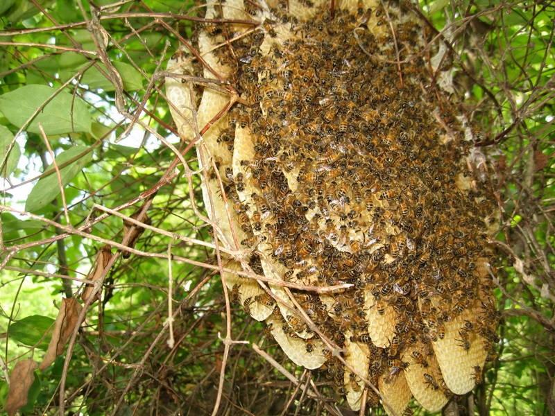 Tổ ong rừng tại rừng U Minh