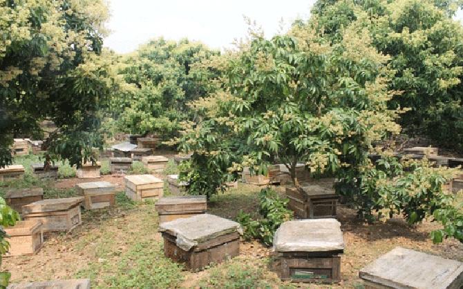 Những thùng ong được đặt trong vườn vào mùa hoa