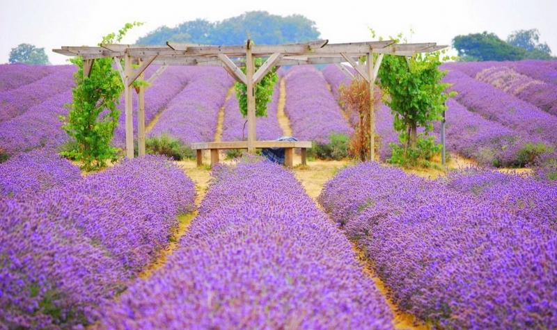 Biển hoa tím ngắt một màu khiến con người say đắm