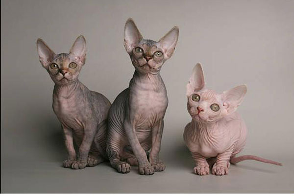 Mèo Ai Cập (Sphynx)