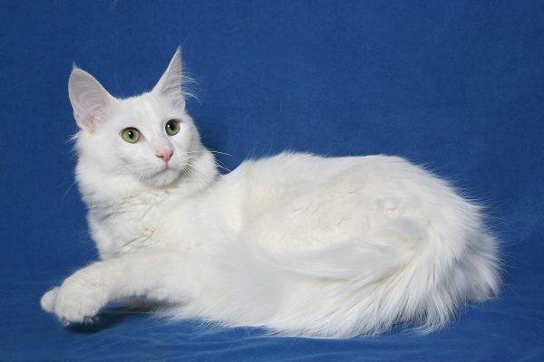 Mèo Angora Thổ Nhĩ Kỳ