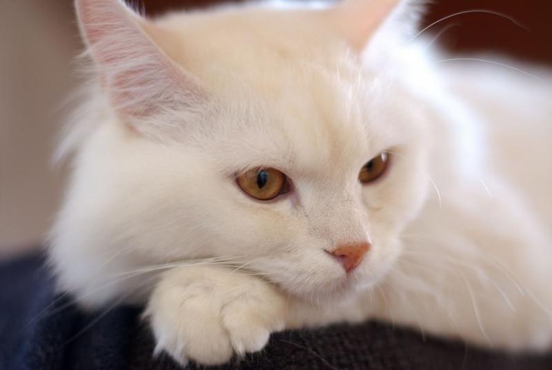 Giống mèo này có bộ lông trắng muốt