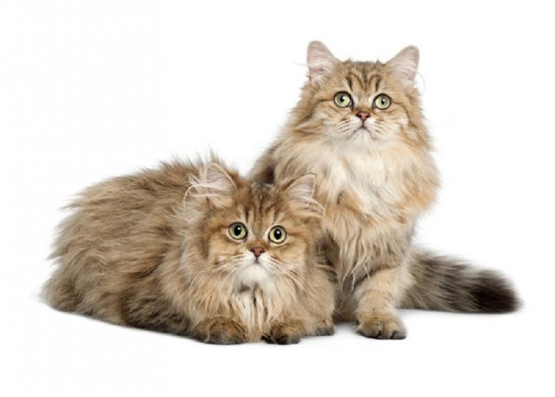 Mèo Anh lông dài có kích thước trung bình