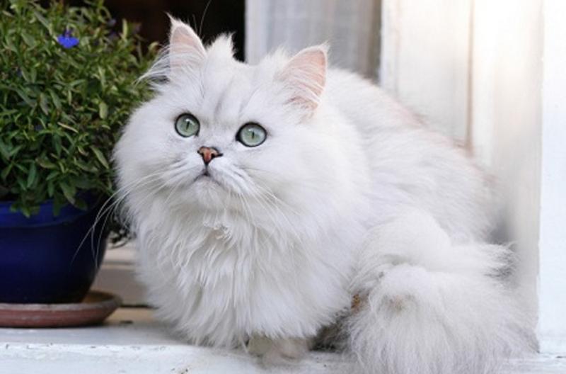 Một trong những giống mèo rất dễ thương là giống mèo Ba Tư