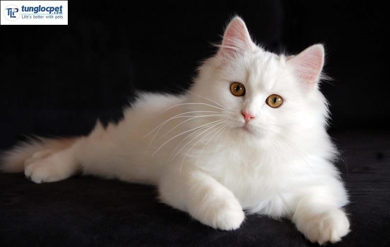Mèo Ba Tư (Persian Longhair)