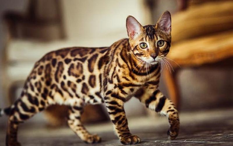 Mèo Bengal có bộ lông ngắn, không cần chủ nhân phải chải chuốt quá thường xuyên
