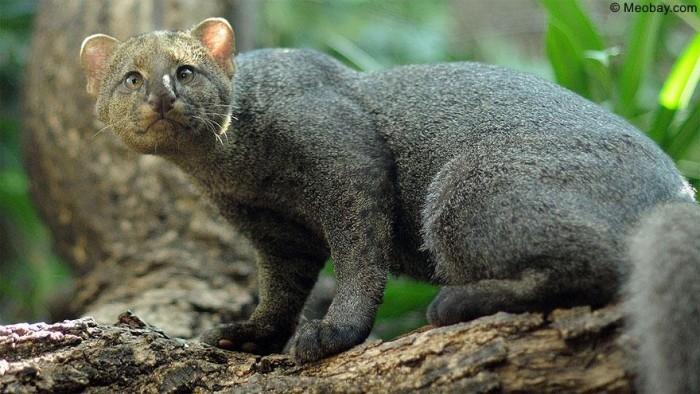 Mèo cây Châu Mỹ