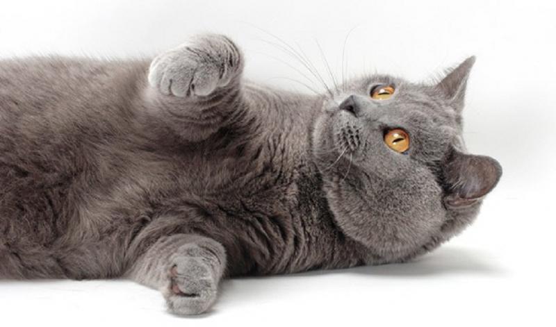 Mèo Chartreux