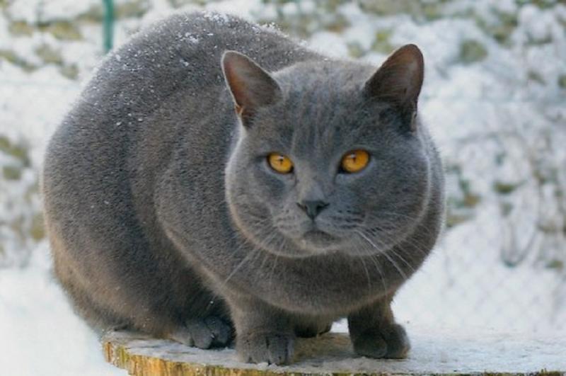 Mèo Chartreux rất thích nhận được sự quan tâm của những người xung quanh