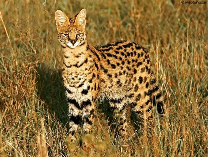 Mèo đồng cỏ Châu Phi