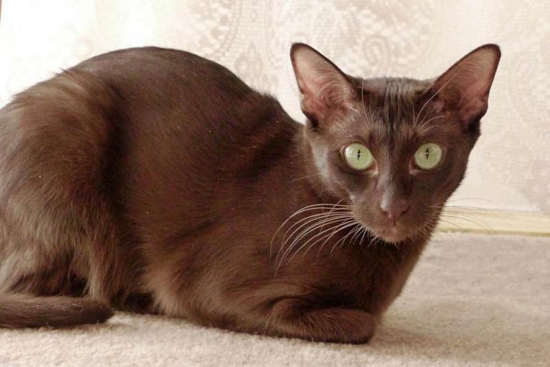 Mèo Havana Brown