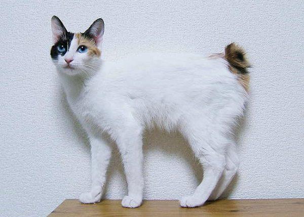 Mèo Japanese Bobtail