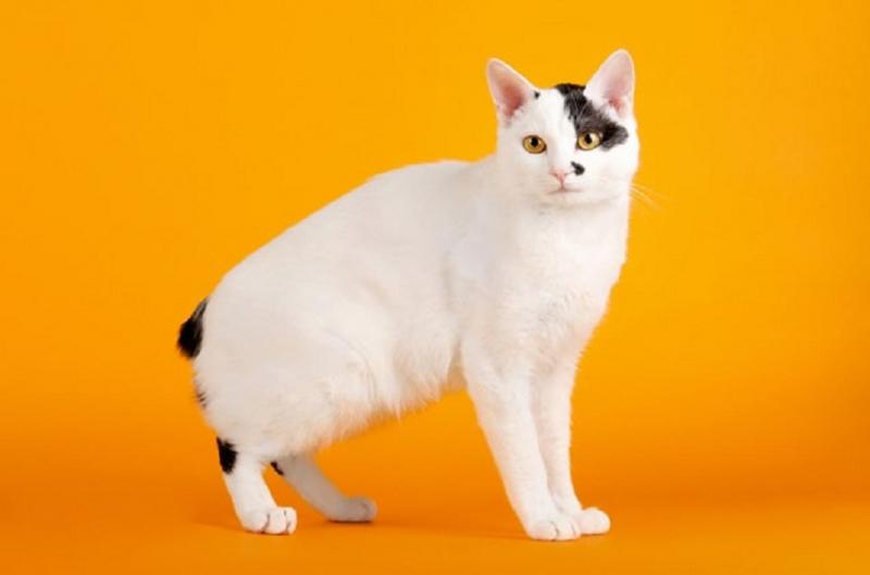 Giống mèo đuôi cộc
