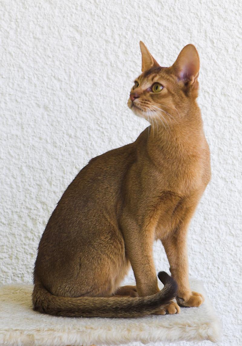 Mèo lông ngắn Abyssinian