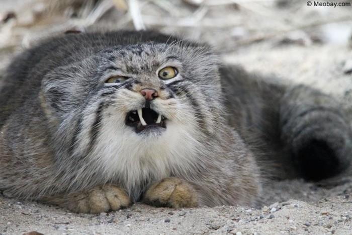 Mèo manul