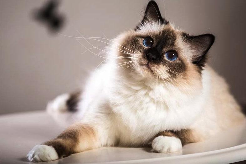 Mèo Miến Điện