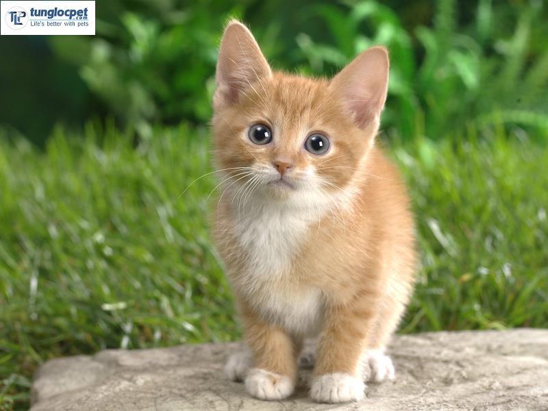 Mèo Mucnhkin