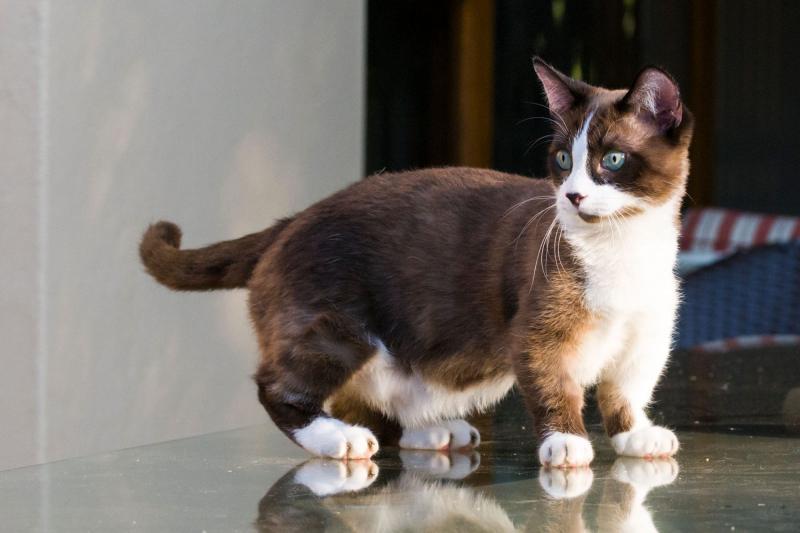 Mèo Munchkin rất vui vẻ, ngọt ngào và rất dễ thương