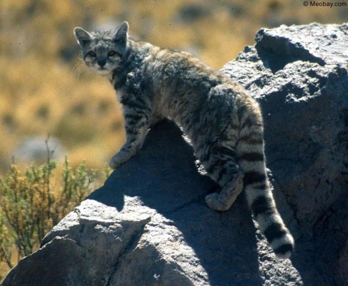 Mèo núi Andes