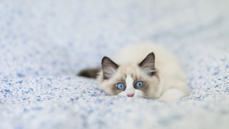 Mèo Ragdoll còn có tên gọi khác là Ragamuffin