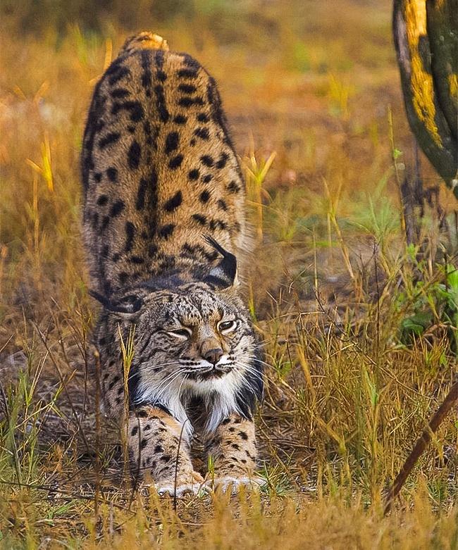 Mèo rừng Iberian