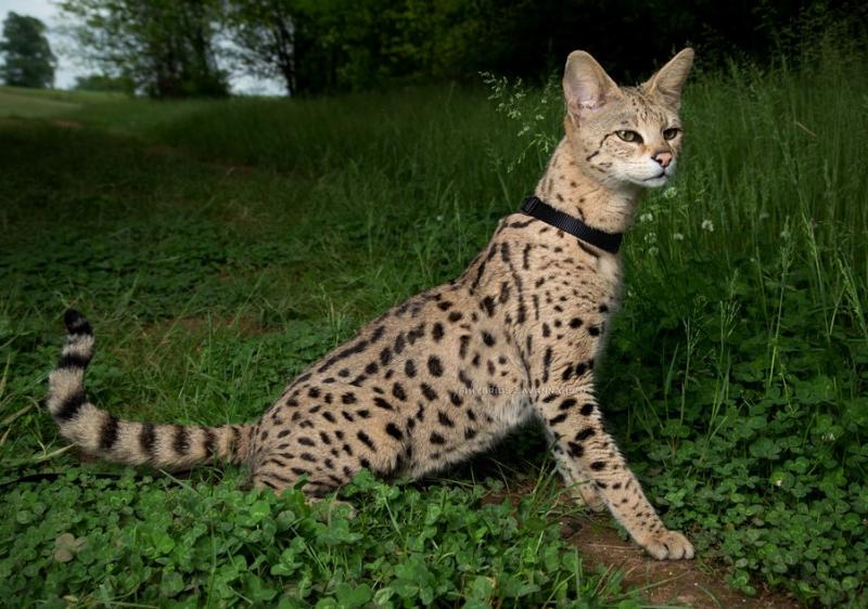 Mèo Savannah
