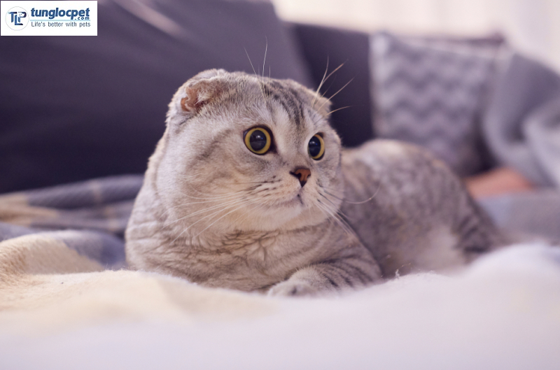 Mèo Scottish tai cụp (Scottish Fold)