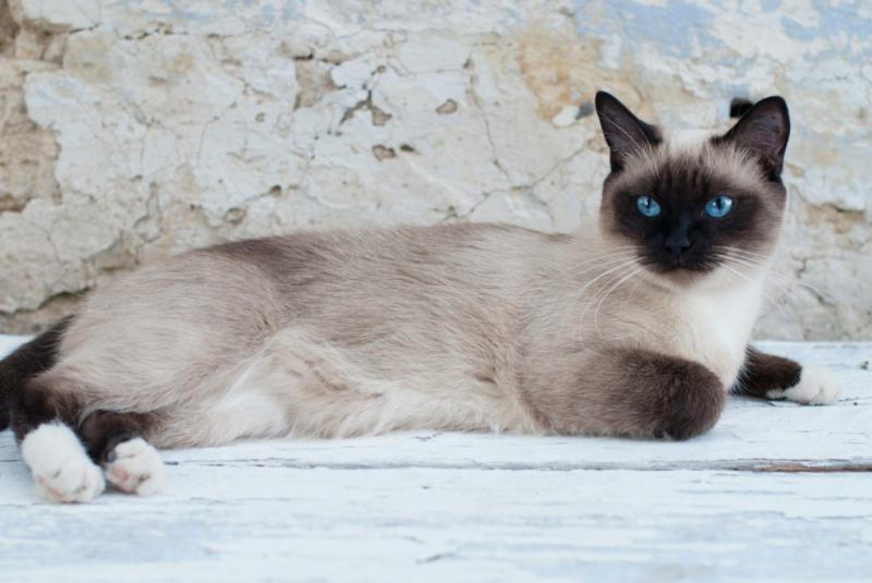 Mèo Siamese hay còn gọi là mèo Xiêm