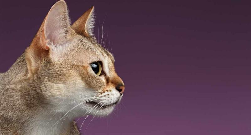 Mèo Singapura